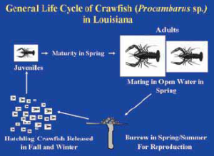 crawfish_figure-3